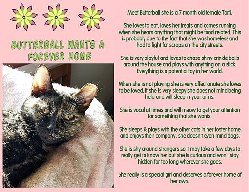 Rochester, NY - Domestic Shorthair  Meet Butterball (Wants