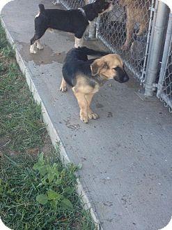 Corgi/Shepherd (Unknown Type) Mix Dog for adoption in Indianola, Mississippi - Rambo