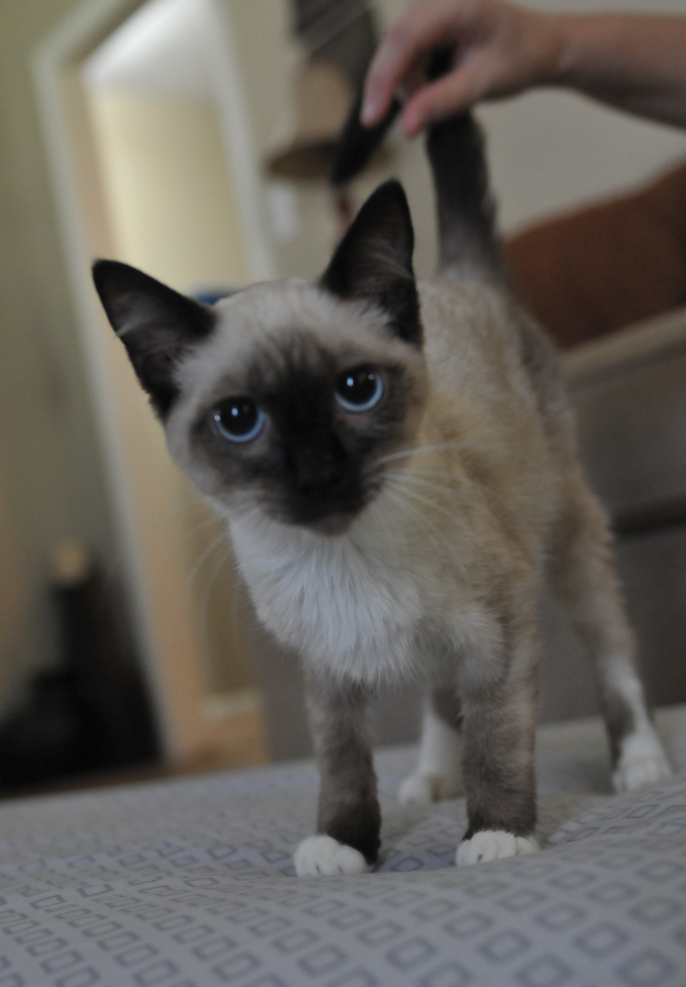 Pittsburgh Pa Siamese Meet Franchesca A Pet For Adoption