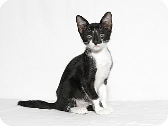 Domestic Shorthair Kitten for adoption in Lufkin, Texas - Picasso