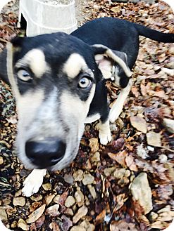 Catahoula Leopard Dog Puppy for adoption in Goodlettsville, Tennessee - Jesse