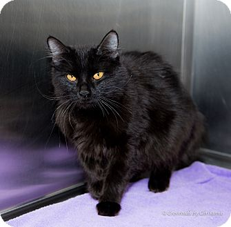 Domestic Longhair Cat for adoption in Sierra Vista, Arizona - Chester