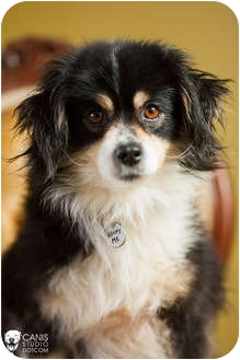 pomeranian rescue oregon portland or australian shepherd meet jasper a pet for 9542
