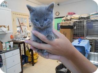 Baby Kittens For Adoption Free Zona Ilmu 2