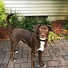 Adopt A Pet :: Faith's Pup Fergus/Ferguson