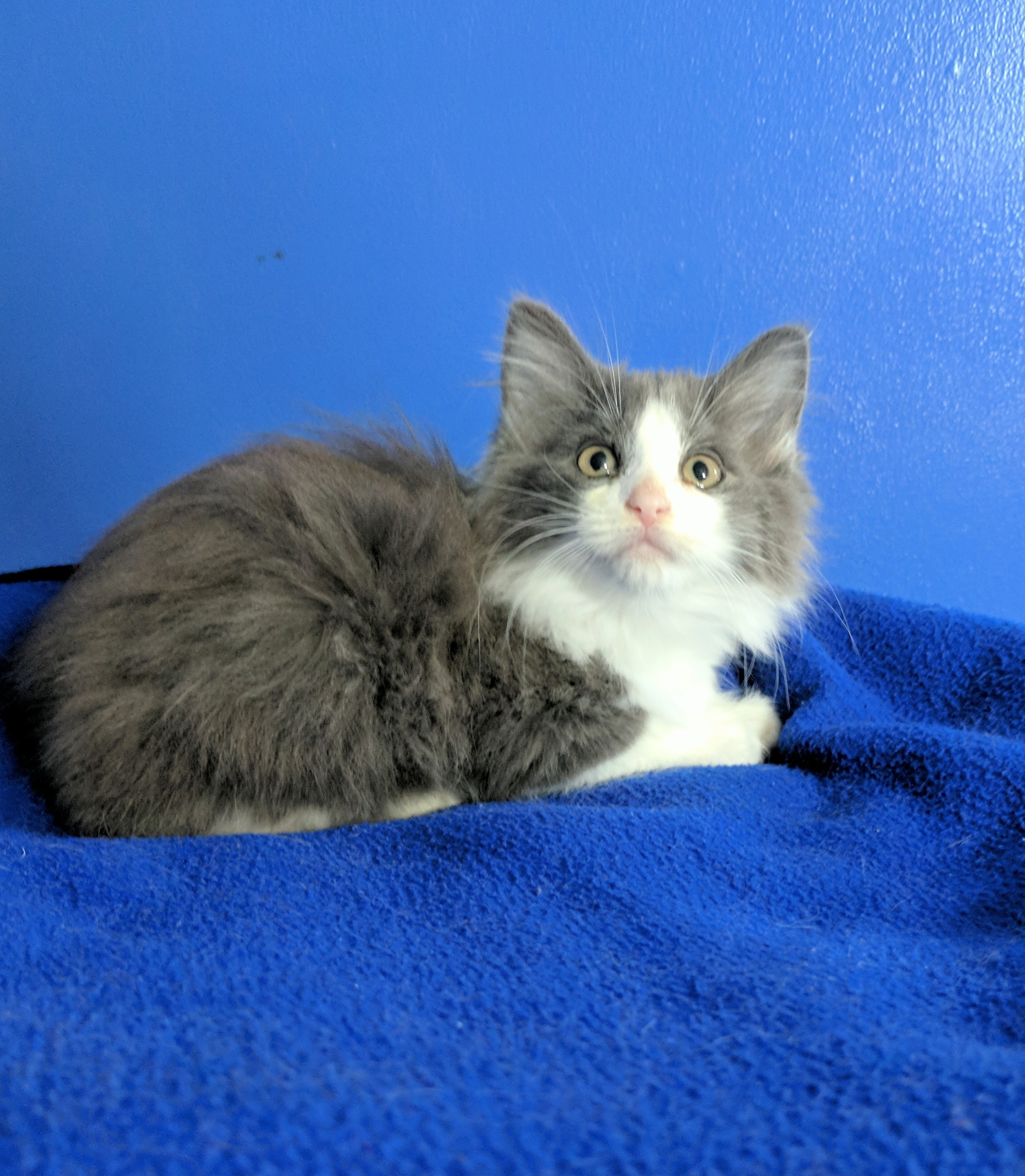 Dayton Oh Maine Coon Meet Watson A Pet For Adoption