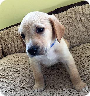 Labrador Retriever Mix Puppy for adoption in Waldorf, Maryland - Smith II