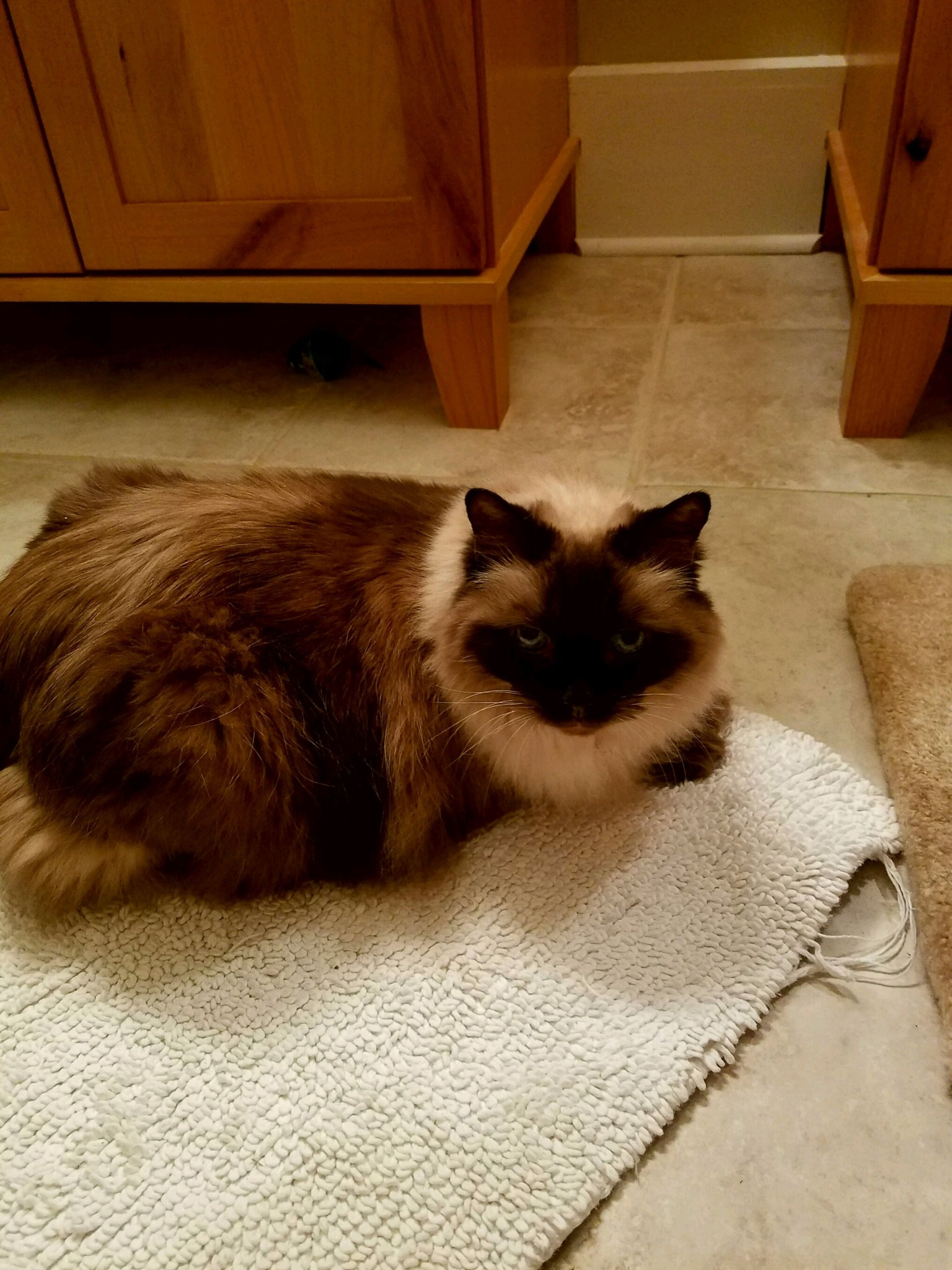 Richmond, VA - Ragdoll. Meet Chi Chi a Cat for Adoption.