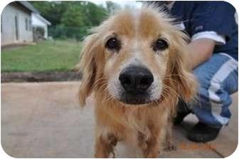 Raleigh, NC - Golden Retriever  Meet Benni a Pet for Adoption