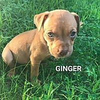 Adopt A Pet :: Ginger - Allentown, PA