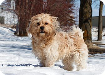 Ile Perrot Qc Yorkie Yorkshire Terrier Meet Dooley A Pet For