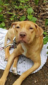 Adopt A Pet :: Amber  - Anchorage, AK