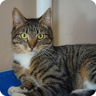 Domestic Shorthair Cat for adoption in Decatur, Georgia - Chess