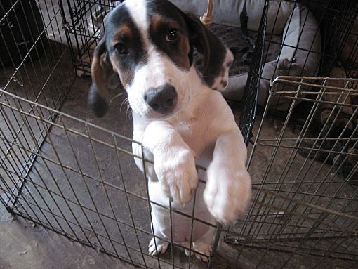 Albuquerque, NM - Basset Hound  Meet Puppies a Pet for Adoption