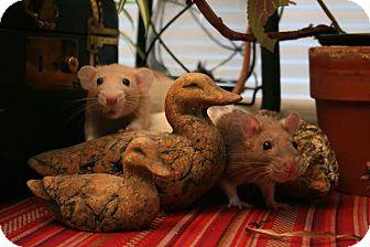 Rat for adoption in Philadelphia, Pennsylvania - KAYLEE and RIVER