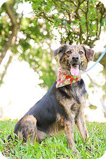 Collie/Labrador Retriever Mix Dog for adoption in San Mateo, California - Betty
