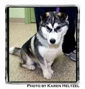 Warren Pa Corgi Meet Madea A Pet For Adoption