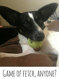Australian Cattle Dog/Terrier (Unknown Type, Medium) Mix Dog for adoption in Kenner, Louisiana - Waldo
