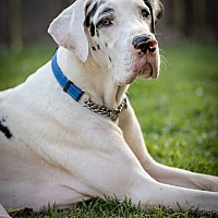 Great Dane Puppy for adoption in Lubbock, Texas - Memphis