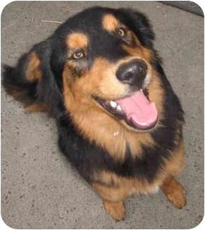 Harbor City Ca Bernese Mountain Dog Meet Bear A Pet For