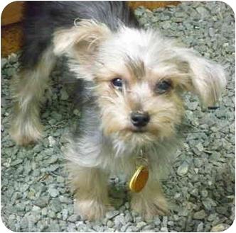 Yorkie, Yorkshire Terrier Dog for adoption in Greensboro, North Carolina - Harlin
