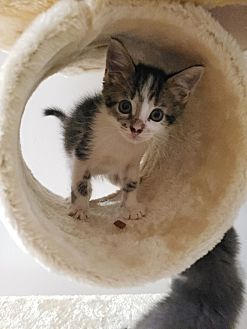 Adopt A Pet :: Piston  - Troy, MI