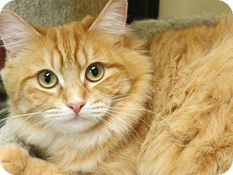 Domestic Longhair Cat for adoption in San Leandro, California - Abagail
