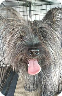 Scottie, Scottish Terrier/Yorkie, Yorkshire Terrier Mix Dog for adoption in Las Vegas, Nevada - Arnold
