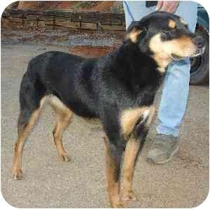 Kingsport, TN - Rottweiler  Meet Annie a Pet for Adoption