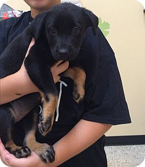 Rottweiler/Labrador Retriever Mix Puppy for adoption in Thousand Oaks, California - Bianca