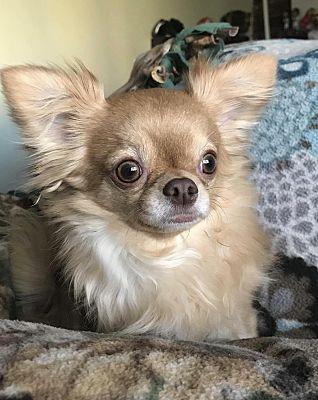 Grand Rapids Mi Chihuahua Meet Higgins A Pet For Adoption