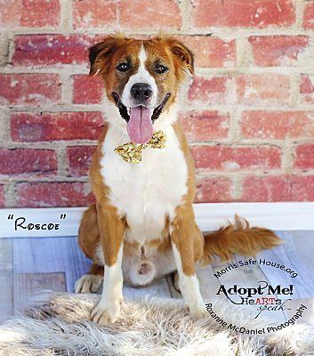 Lubbock Tx Golden Retriever Meet Roscoe A Pet For Adoption