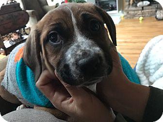 Labrador Retriever/Cattle Dog Mix Puppy for adoption in Acworth, Georgia - Thunder