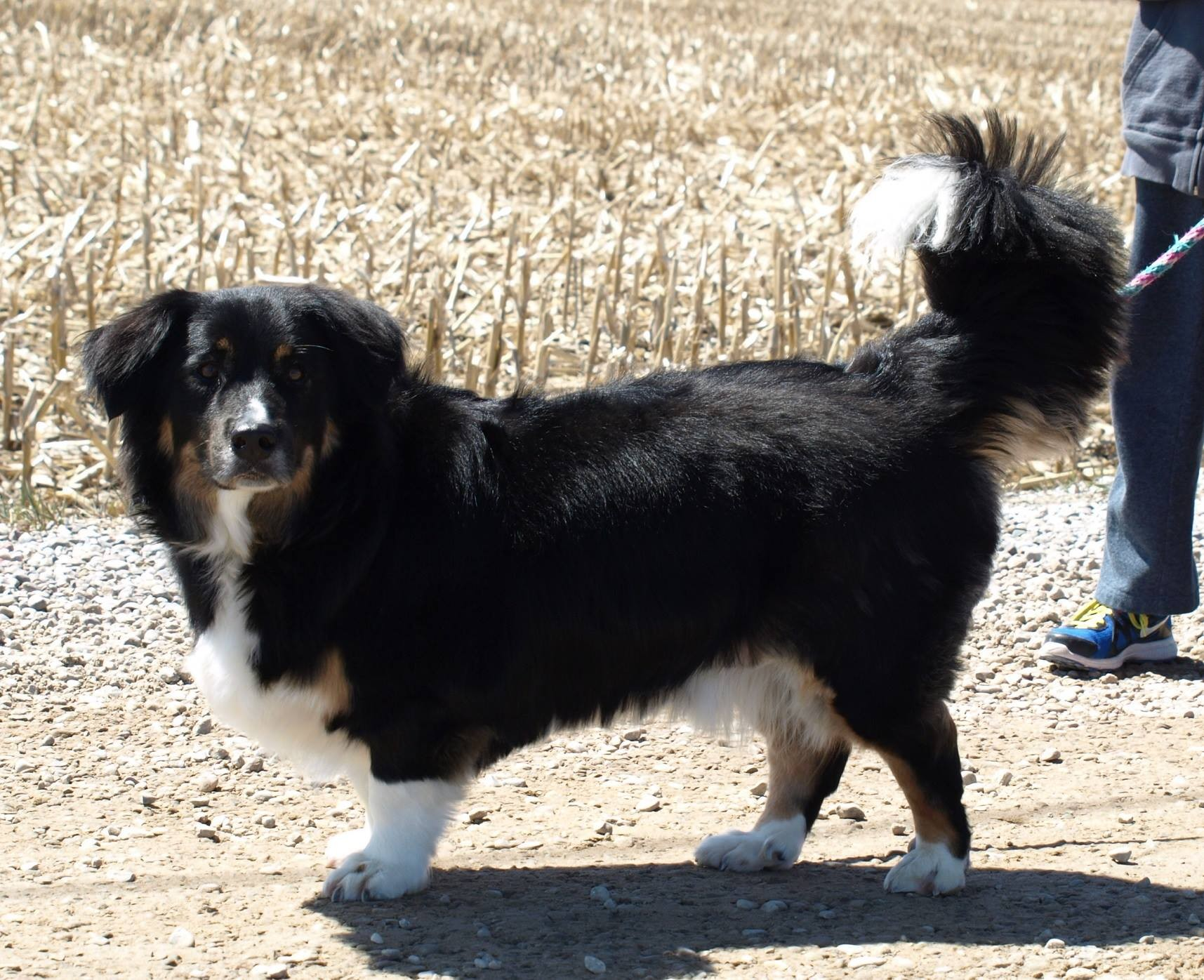 Barrie On Bernese Mountain Dog Meet Fausti A Pet For