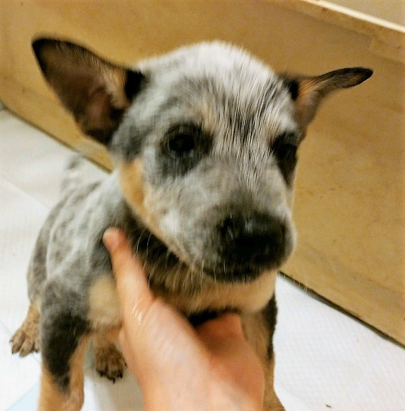 Fort Worth, TX - Blue Heeler  Meet Buster a Pet for Adoption