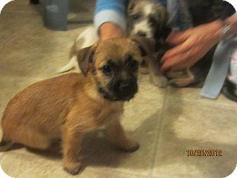 Border Terrier Shih Tzu Mix Puppies