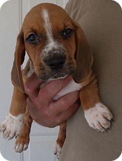 Corona Ca Basset Hound Meet Hush Puppies D A Pet For Adoption