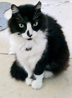 Adopt A Pet :: Big Fluffy Ball......  - Ft Myers Beach, FL