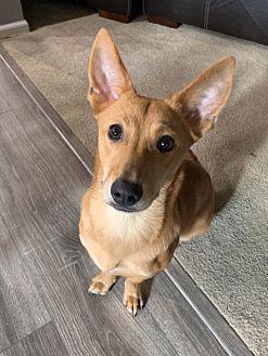 Adopt A Pet :: Jju  - Renton, WA