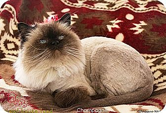 Himalayan Cat for adoption in St Louis, Missouri - Champagne