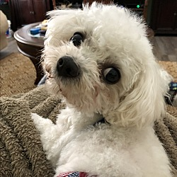 Adopted pets at Bichon Frise Club of America Rescue
