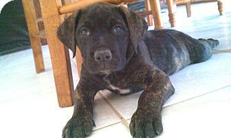 Simi Valley Ca Bullmastiff Meet Mastiff Puppies A Pet For Adoption