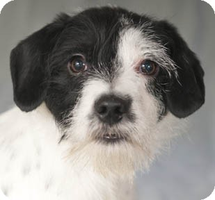 Chicago Il Jack Russell Terrier Meet Chip A Pet For Adoption