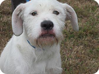 Allentown, PA - Old English Sheepdog  Meet Beckett a Pet for
