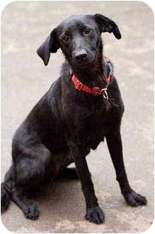 Labrador Retriever Mix Dog for adoption in Portland, Oregon - Ezra