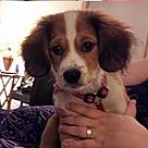Adopt A Pet :: Pomm Beagle Hack