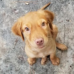Golden Retriever Puppies for Sale in Tampa Florida