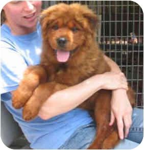 Harbor City, CA - Chow Chow  Meet Yogi Bear Puppy a Pet for