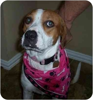 Boxer Mix Dog for adoption in Humble, Texas - Pinky