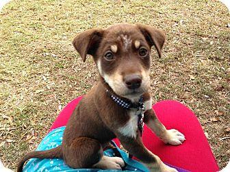 Homestead Fl Labrador Retriever Meet Brownie A Pet For Adoption